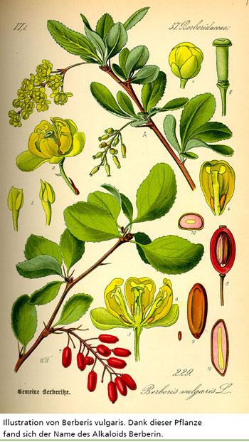 Illustration von Berberis vulgaris