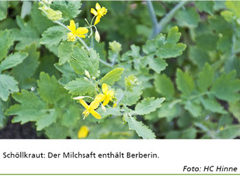 Schöllkraut enthält Berberin